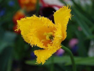 Die Wilde Tulpe im Schlossgarten Weikersheim blüht von April bis September.